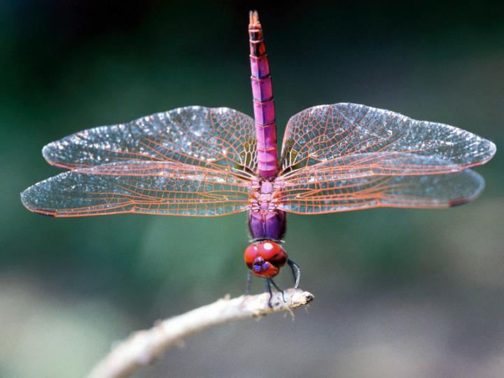dragonflies-common-animal-messengers-and-their-meaning