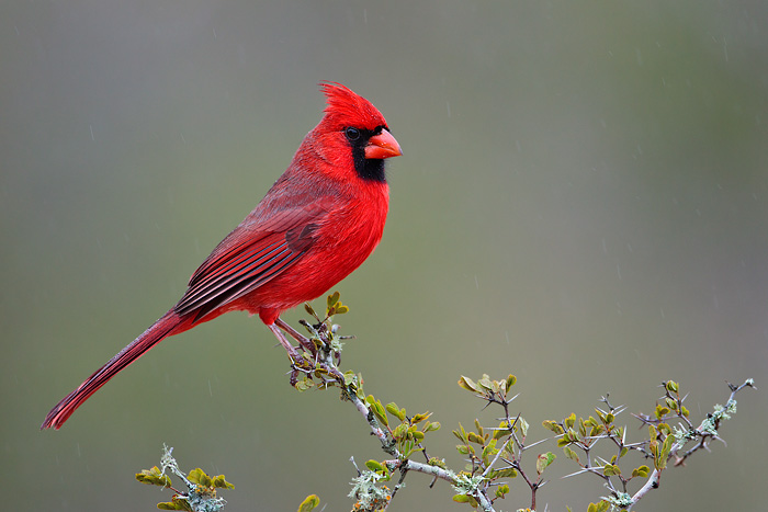 cardinal-15-common-animal-messengers-and-their-meaning