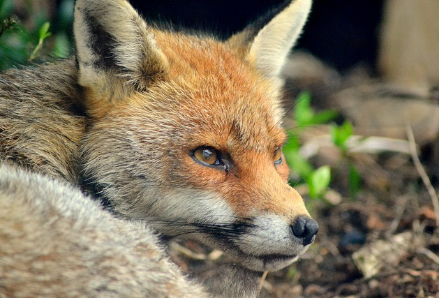 fox-common-animal-messengers-and-their-meaning