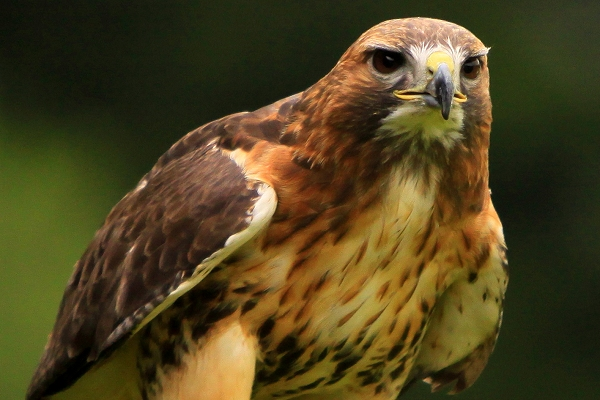 hawk-15-common-animal-messengers-and-their-meaning