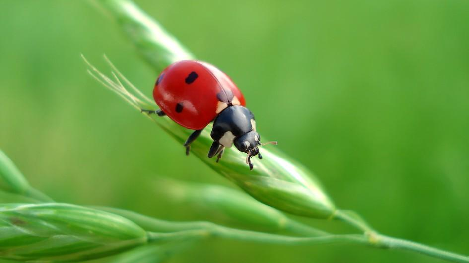 ladybug-common-animal-messengers-and-their-meaning