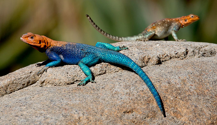 lizard-15-common-animal-messengers-and-their-meaning