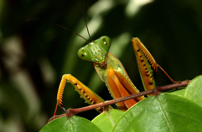 praying-mantis-15-common-animal-messengers-and-their-meaning