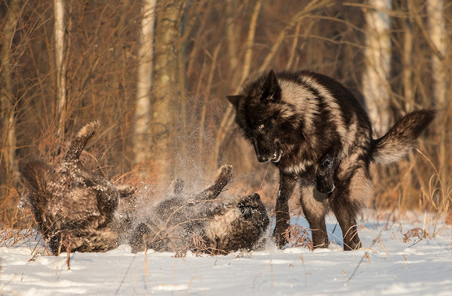 Majestic Black Timber Wolves Photographed Like You've Never Seen Before 7