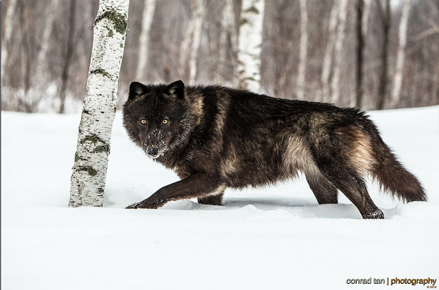 Majestic Black Timber Wolves Photographed Like You've Never Seen Before 1