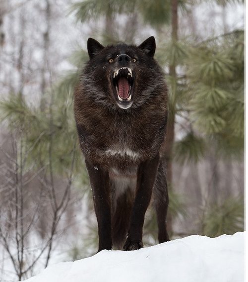 Majestic Black Timber Wolves Photographed Like You've Never Seen Before 10