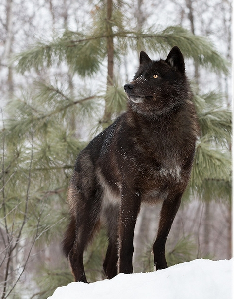 Majestic Black Timber Wolves Photographed Like You've Never Seen Before 11