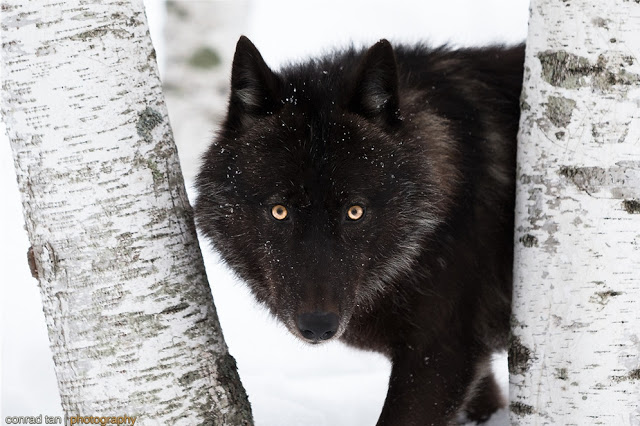 Majestic Black Timber Wolves Photographed Like You've Never Seen Before 12