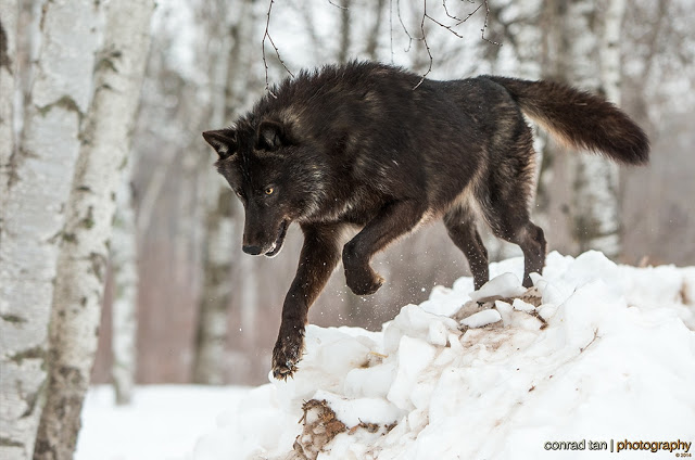 Majestic Black Timber Wolves Photographed Like You've Never Seen Before 2