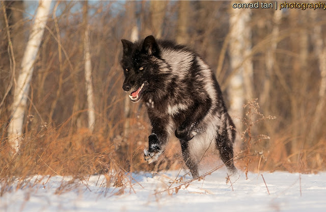 Majestic Black Timber Wolves Photographed Like You've Never Seen Before 3