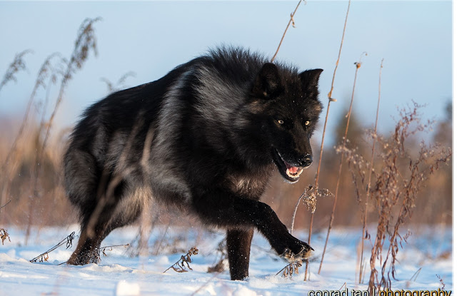 Majestic Black Timber Wolves Photographed Like You've Never Seen Before 4