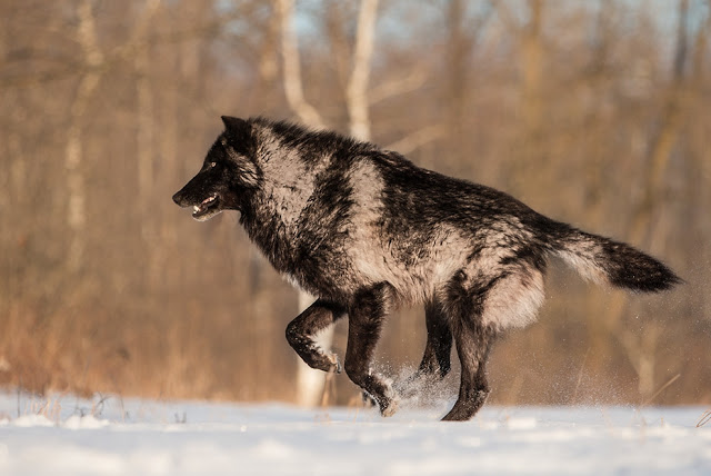 Majestic Black Timber Wolves Photographed Like You've Never Seen Before 5