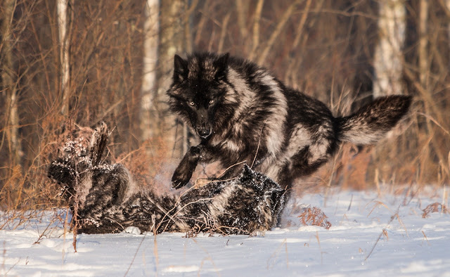 Majestic Black Timber Wolves Photographed Like You've Never Seen Before 6