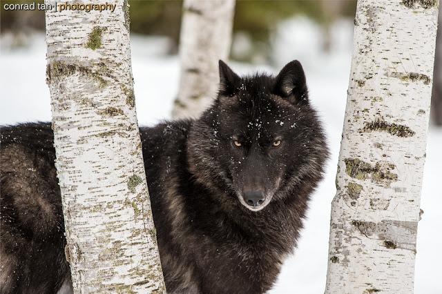 Majestic Black Timber Wolves Photographed Like You've Never Seen Before 8