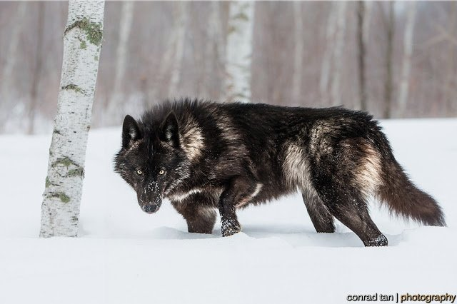 Majestic Black Timber Wolves Photographed Like You've Never Seen Before 9