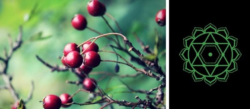 4.-Heart-Chakra-—-Hawthorn-Berry.jpg
