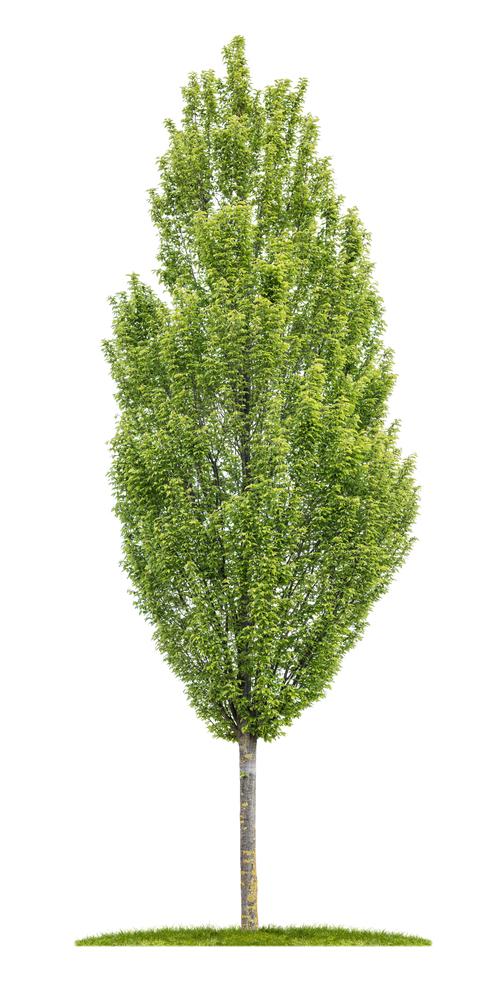 Hornbeam-Tree.jpg