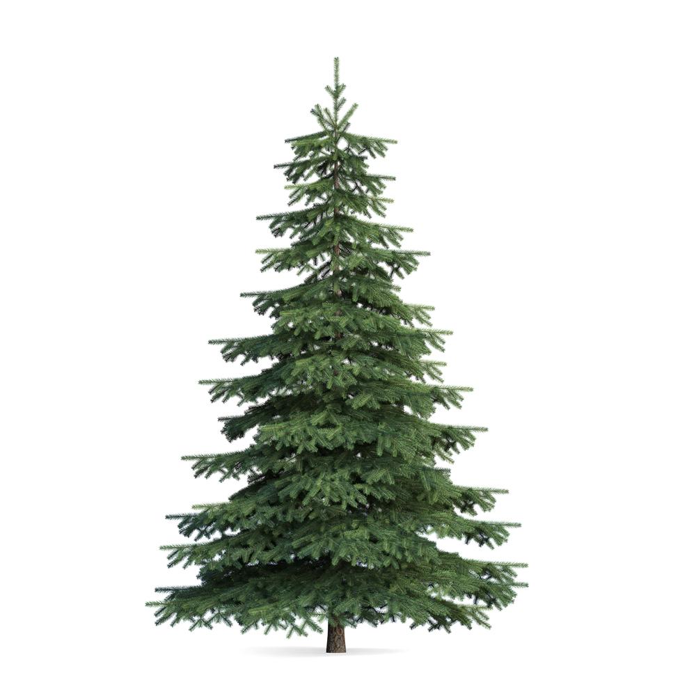 pine tree gostica