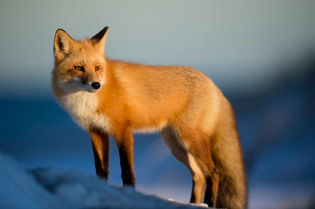 spirit animal, fox