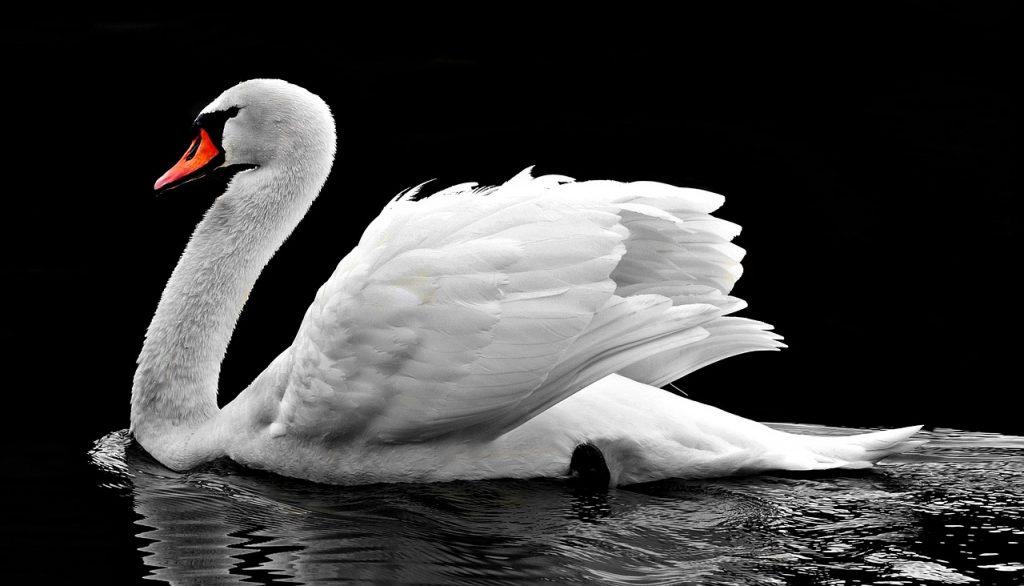 spirit animal, swan